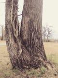 翘曲的树干 图库摄影