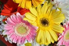 翠菊、大丁草和雏菊花染黄红色和桃红色与水滴  库存图片