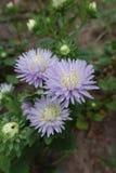 翠菊三朵淡色紫罗兰色花  库存图片
