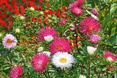 翠菊五颜六色的五颜六色 免版税图库摄影