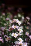 翠菊在庭院里 免版税库存图片