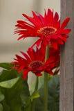 翠菊在庭院里 库存图片
