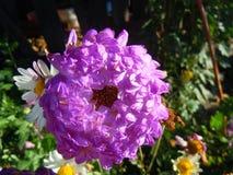 翠菊在秋天庭院里 库存图片