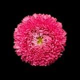 翠菊在黑色隔绝的头状花序 免版税库存照片