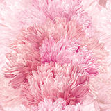 翠菊无缝的传染媒介背景样式 库存照片