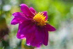 翠菊秋天花背景 秋天花,紫罗兰色红色花 图库摄影
