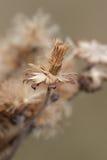 翠菊种子 图库摄影