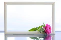翠菊粉红色 免版税库存照片
