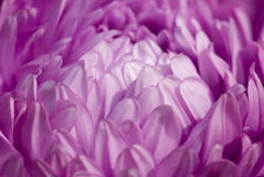 翠菊紫色 库存图片
