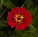 翠菊红色 免版税图库摄影