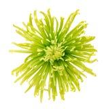 翠菊绿色花 库存图片