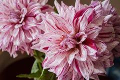 翠菊背景花束查出的白色 库存图片
