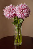翠菊背景花束查出的白色 免版税库存图片