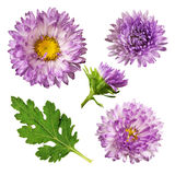 翠菊花和叶子 免版税库存图片