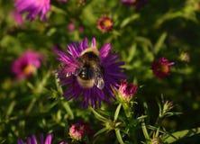 翠菊花和土蜂 库存图片