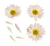 翠菊花和瓣 免版税库存照片