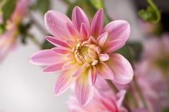 翠菊花粉红色 库存照片