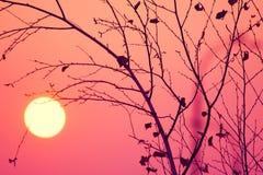 翠菊许多秋天的紫红色心情粉红色 没有叶子的树在日落背景 库存照片