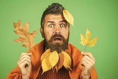 翠菊许多秋天的紫红色心情粉红色 秋天时间 有自然黄色秋天的人在格子花呢披肩把胡子留在 免版税库存图片