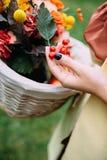 翠菊许多秋天的紫红色心情粉红色 免版税图库摄影