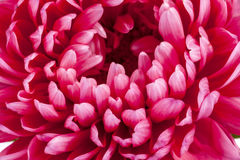 翠菊,关闭唯一花与精美瓣的 库存照片