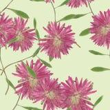 翠菊, Michaelmas雏菊 无缝的样式纹理按 免版税库存照片