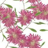 翠菊, Michaelmas雏菊 被按的博士无缝的样式纹理  免版税图库摄影