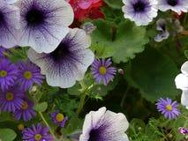翠菊-菊科-,并且一起生长的喇叭花- Petunioideae -,采取从一个垂悬的篮子在英国 库存照片