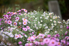 翠菊amellus,翠菊amellus,欧洲Michaelmas雏菊 免版税库存照片