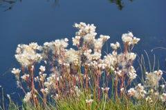 翠菊Amellus去播种 图库摄影