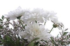 翠菊bakcround与 免版税库存照片