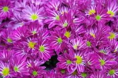 翠菊dof草坪紫红色浅 图库摄影