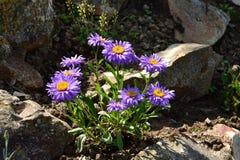 翠菊dumosus -蓝色的夫人 库存照片