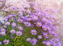 翠菊novi-belgii在庭院花圃里在秋天 免版税库存照片
