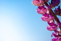 翠雀在草甸在晴天 库存照片