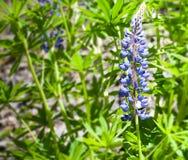 翠雀,蜡烛翠雀,一朵美丽的蓝色花 库存图片