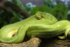 翠青蛇结构树 库存照片