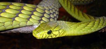 翠青蛇黄色 图库摄影