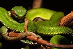 翠青蛇 库存照片