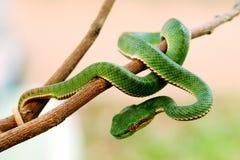 翠青蛇 库存图片