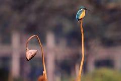 翠鸟和凋枯的莲花 免版税库存图片