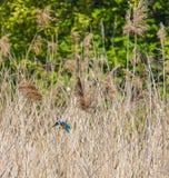 翠鸟在汉普顿的野生生物储备的芦苇床上,渥斯特公园,伦敦 免版税库存照片