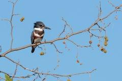 翠鸟在老产树胶之树坐 库存图片