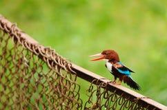 翠鸟红喉刺莺的白色 图库摄影