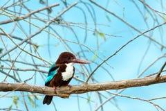 翠鸟红喉刺莺的白色 免版税库存照片