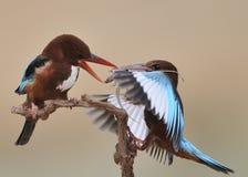 翠鸟红喉刺莺的白色 库存照片