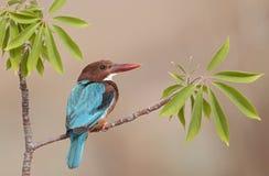 翠鸟红喉刺莺的白色 库存图片