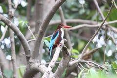 翠鸟红喉刺莺的白色 免版税库存图片