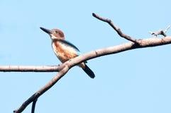 翠鸟红喉刺莺的白色 免版税图库摄影