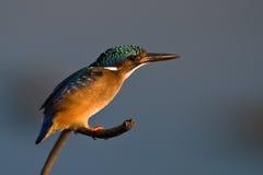 翠鸟绿沸铜枝杈 免版税图库摄影